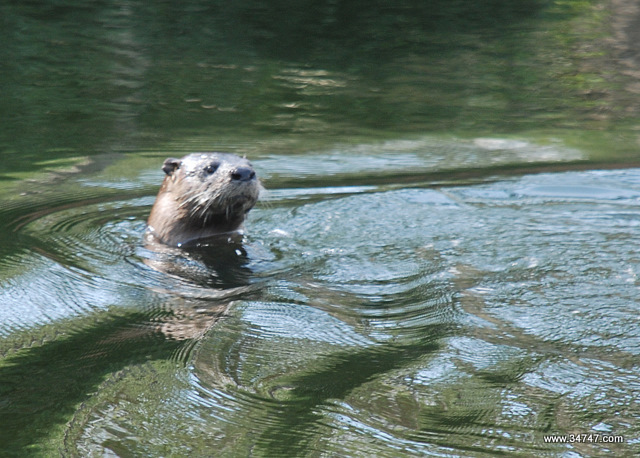 Otter, South Village, Celebration, FL
